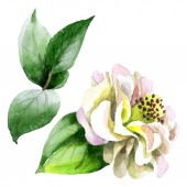 White camellia flower with green leaves isolated on white. Watercolor background set.