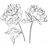 Fotografie Vector peonies with leaves isolated on white. Black and white engraved ink art.