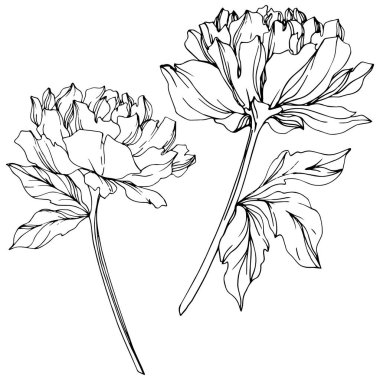 Vector peonies with leaves isolated on white. Black and white engraved ink art. stock vector