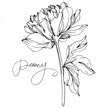 Vector peony flower with leaves isolated on white with peony lettering. Black and white engraved ink art. stock vector
