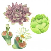 Photo Succulent floral botanical flower. Wild spring leaf wildflower isolated. Watercolor background illustration set. Watercolour drawing fashion aquarelle isolated. Isolated cacti illustration element.