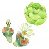 Fotografie Šťavnaté květinové květiny. Divoké květinové listí. Vodný obrázek pozadí-barevný. Akvarel na kreslicím módu Aquarelle. Samostatný příklad kaktusů.