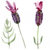 Purple lavender floral botanical flowers. Watercolor background set. Isolated lavender illustration element.