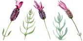 Fialové levandule květinové botanické květy. Barevné pozadí. Izolovaný obrázek izolovaného levandule.