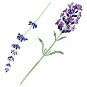 Fialové levandule květinové botanické květin. Sada akvarel pozadí obrázku. Prvek ilustrace izolované levandule.