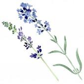 Fényképek Levendula lila virágos botanikai virág. Akvarell háttér illusztráció készlet. Elszigetelt levendula ábra elem.