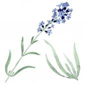 Levendula lila virágos botanikai virág. Akvarell háttér illusztráció készlet. Elszigetelt levendula ábra elem.