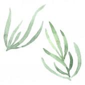 Zöld levendula levelek virágos botanikus virág. Akvarell háttér meg. Különálló levendula illusztrációs elem.