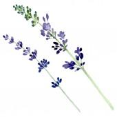 Fotografie Fialové levandule květinové botanické květin. Sada akvarel pozadí obrázku. Prvek ilustrace izolované levandule.