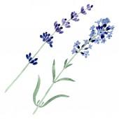 Violet lavender floral botanical flower. Watercolor background illustration set. Isolated lavender illustration element.