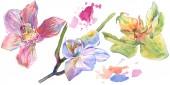 Květinové botanické květiny. Vodný obrázek pozadí-barevný. Izolované orchideje, ilustrace.