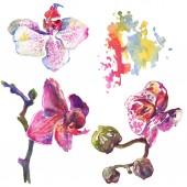 Orchidea virág botanikai virágok. Akvarell háttér illusztráció meg. Izolált minta illusztrációs elem.