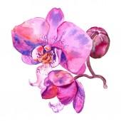 Orchid floral botanical flower. Watercolor background illustration set. Isolated orchids illustration element.