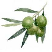 Olivová složka s černým a zeleným ovocem. Vodný obrázek pozadí-barevný. Ojedinělý prvek ilustrace.