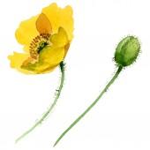Žluté květinové botanické květiny. Vodný obrázek pozadí-barevný. Izolovaný prvek pro ukázky vlčí máky.