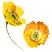 Sárga pipacs virágos botanikai virágok. Akvarell háttér illusztráció meg. Az elszigetelt Pipacsok illusztrációs elem.