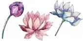 Lotus virág botanikai virágok. háttérillusztráció-készlet. Elszigetelt Nelumbo illusztráció elem.