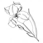 Vektoriris florale botanische Blumen. Schwarz-weiß gestochene Tuschekunst. isolierte Iris Illustrationselement.
