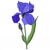 Vector Irises floral botanical flowers. Blue and green engraved ink art. Isolated irises illustration element.