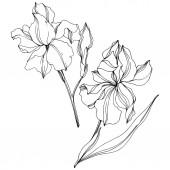 Vektor Irises virágos botanikai virágok. Fekete-fehér vésett tinta Art. Izolált iszek illusztráció elem.