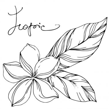 Palmiye plaj ağacı orman botanik sulu bırakır. Siyah ve beyaz oyulmuş mürekkep sanatı. Yalıtılmış yaprak illüstrasyon elemanı.
