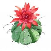 Fiore botanico floreale di cactus verde. Set di illustrazioni di sfondo dellacquerello. Elemento illustrazione cactus isolato.