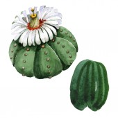 Zelený kaktus květinové botanické květy. Vodný obrázek pozadí-barevný. Samostatný příklad kaktusů.