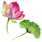 Pink lotus floral botanical flowers. Watercolor background illustration set. Isolated nelumbo illustration element.