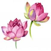 Květinové botanické květiny. Vodný obrázek pozadí-barevný. Izolovaný prvek pro Nelumbo obrázek.