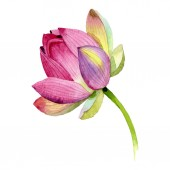 Fotografie Květinové botanické květiny. Vodný obrázek pozadí-barevný. Izolovaný prvek pro Nelumbo obrázek.