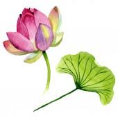 Pink lótusz virágos botanikai virágok. Akvarell háttér illusztráció meg. Elszigetelt Nelumbo illusztráció elem.