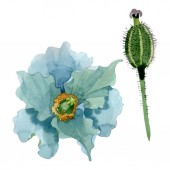 Fotografie Blue poppy floral botanical flowers. Watercolor background illustration set. Isolated poppies illustration element.