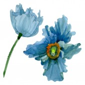Blue poppy floral botanical flowers. Watercolor background illustration set. Isolated poppies illustration element.