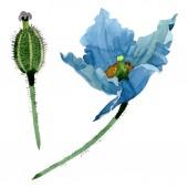 Fényképek Kék mák virág botanikai virágok. Akvarell háttér illusztráció készlet. Elszigetelt Pipacsok ábra elem.