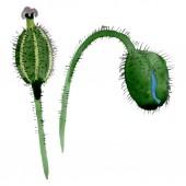 Zöld mák Bud virágos botanikai virágok. Akvarell háttér illusztráció meg. Az elszigetelt Pipacsok illusztrációs elem.