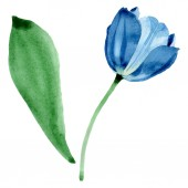 Kék tulipán virágos botanikai virágok. Akvarell háttér illusztráció meg. Különálló tulipános illusztrációs elem.