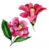 Fényképek Vörös Camelia virágos botanikus virág. Akvarell háttér illusztráció meg. Elszigetelt Camelia illusztráció elem.