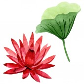 Květinový květ z červeného lotosu. Vodný obrázek pozadí-barevný. Izolovaný ilustrací prvku Lotus.