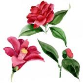 Červená Camelie květinová Botanická květina. Vodný obrázek pozadí-barevný. Izolovaná Camelie-ilustrace.