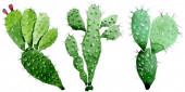 Zelené kaktus květinové botanické květy. Vodný obrázek pozadí-barevný. Samostatný příklad kaktusů.