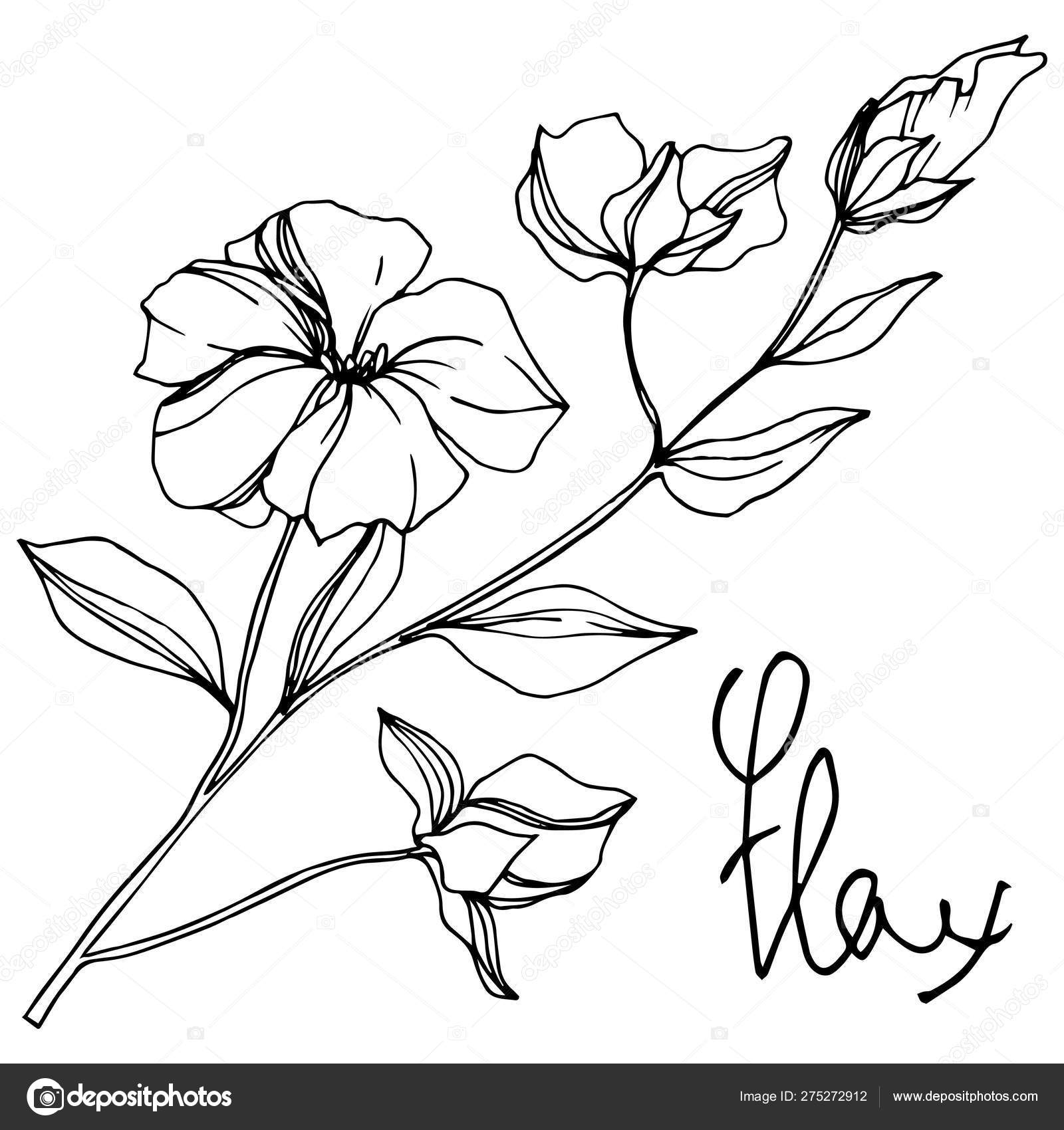 Vector Flax floral botanical flowers. Black and white