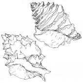 Fényképek Nyári strand Seashell trópusi elemeket. Fekete-fehér vésett tinta Art. Izolált lövedékek (illusztrációs elemek).