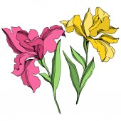 Iris květinové botanické květiny. Černé a bílé ryté inkoustem. Izolovaný prvek – izolovaná kosatce.