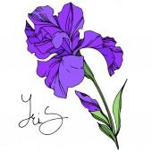 Írisz virágos botanikus virágok. Fekete-fehér vésett tinta Art. Izolált iszek illusztráció elem.