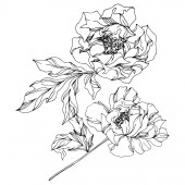 Pfingstrose botanische Blüten. wildes Frühlingsblatt. Schwarz-weiß gestochene Tuschekunst. vereinzelte Pfingstrosen Illustrationselement.