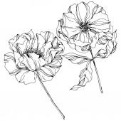 Botanické květiny. Divoký jarní list. Černé a bílé ryté inkoustem. Izolované peonie – ilustrace prvku.