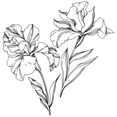 Iris floral botanical flowers. Wild spring leaf wildflower isolated. Black and white engraved ink art. Isolated irises illustration element on white background. stock vector