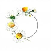 Chamomile květinové botanické květy. Divoké květinové listí. Vodný obrázek pozadí-barevný. Akvarel na kreslicím módu Aquarelle. Orámovaná hranatá hranice.