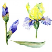 Purple yellow iris flower. Watercolor background set. Watercolour drawing aquarelle. Isolated iris illustration element.