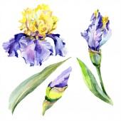 Purple yellow iris flower. Watercolor background set. Watercolour drawing aquarelle. Isolated iris illustration element.